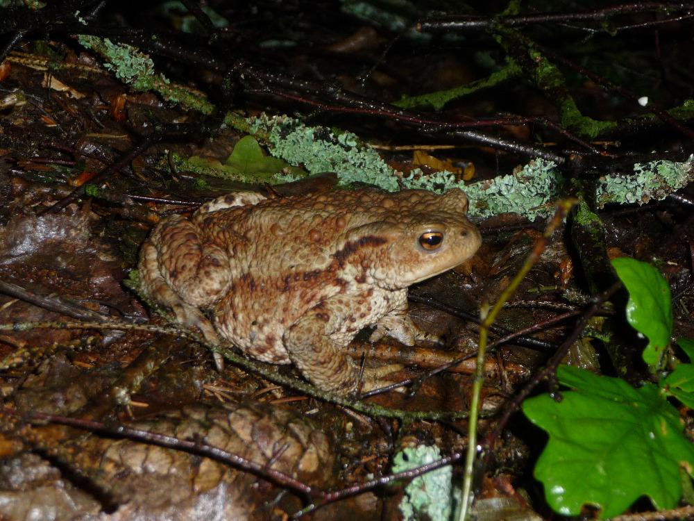 frogý